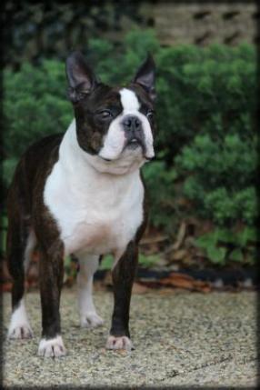 boston terrier puppies texas
